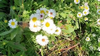벌과 야생국화 , 산책 길 풍경  ,