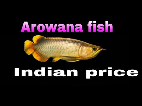 TOP 10 Arowana Fish Indian Price