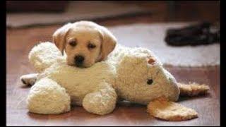 このかわいさはずるいな~♡ ラブラドールレトリバーと子犬の優しい表情...