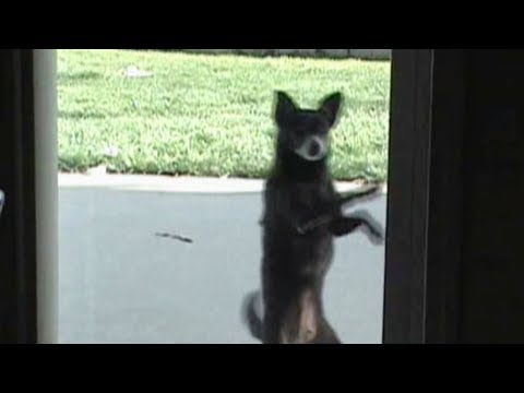 Cute Dog Salsa Dancing