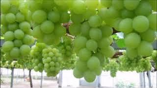 अंगूर की खेती से कमाएं तगड़ा मुनाफा