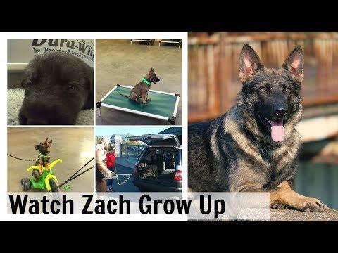 Growing Up In 2:34 Sec.  Watch Zach From 6 Wks To 2 Years German Shepherd Super Star