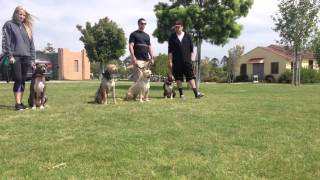 Pit Bull Training Los Angeles & San Diego | Sandlot K9 Services