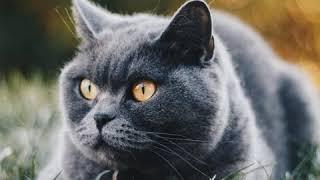 Chartreaux  Cat Breed  Pet Friend