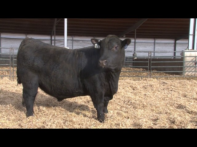 Schiefelbein Angus Farms Lot 264