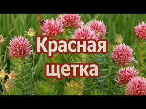 Что лечит трава красная щетка? Полезные свойства, противопоказания, рецепт настойки и отвара.