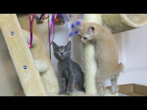 Japanese Bobtail Kittens 4k First Cat Wand & Wet Dinner