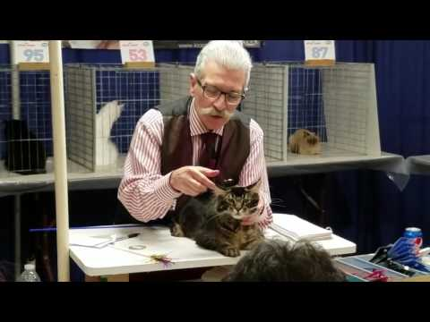 "RoyalLions ""Count Chocula"" Best Maine Coon Kitten International Show, San Diego, CA"