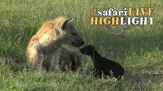 Hyena Mother with Adorable Cub thumbnail