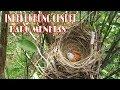 Mengintip Sarang Burung Cendet Di Alam Liar  Mp3 - Mp4 Download