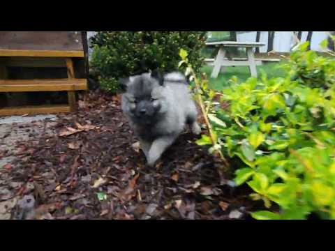 Baby Keeshond Hides from the Pupparazzi