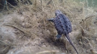 Saving a Snapping Turtle Egg!