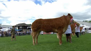 Pencampwriaeth Limousin Benywaidd | Limousin Female Championship