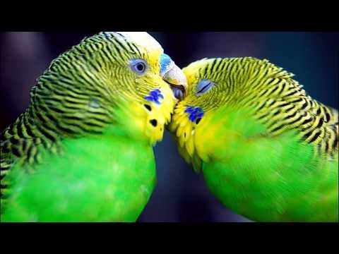 10 часов! Пение, чириканье волнистых попугайчиков Отличная компания для ваших пернатых питомцев