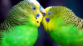10 hours! Singing, tweeting budgerigars Great company for your birds