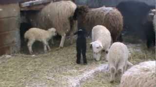 Наши овцы ягнята.MPG
