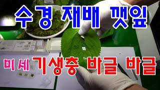 수경 재배 깻잎  미세 기생충 더 많다 /야채 데처 먹…
