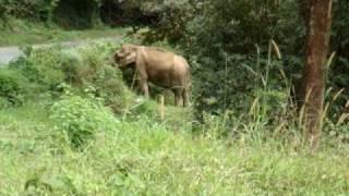 Kattaana = Wild Elephant On The Way Through Idukki Forest - by Dr.KIRAN NARAYANAN T.D.M.C.