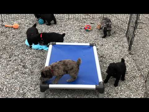 Mystic's standard schnoodle puppy 3-13-19 first time in yard