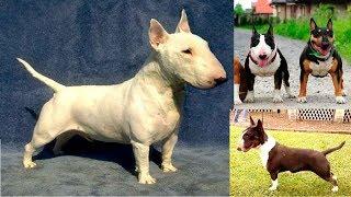 El Mini Bull Terrier, una mini mascota