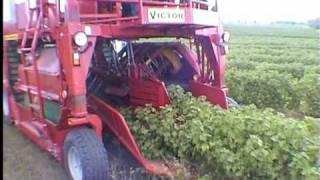 VICTOR - kombajn samojezdny (self propeled berry harvester),  - zbiór porzeczki czarnej