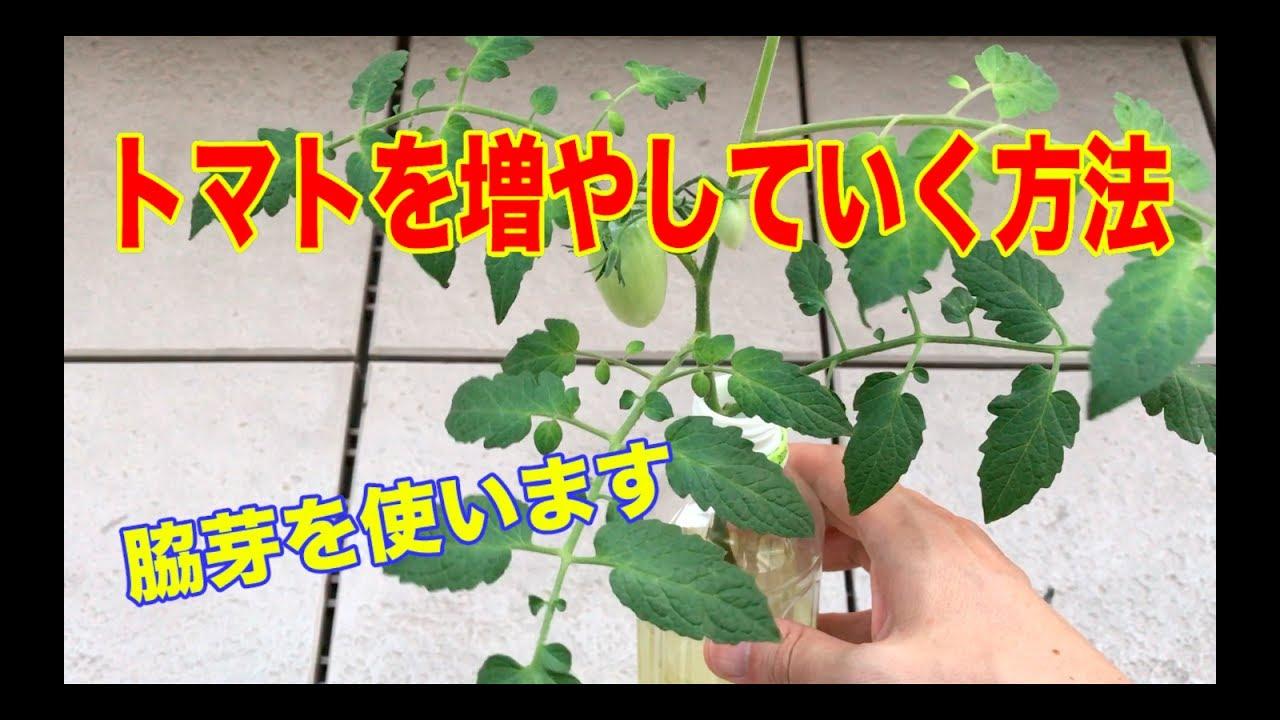 わき 方 ミニ 育て 芽 トマト