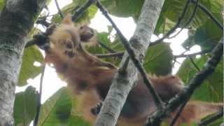 Orangutans in wild Sumatra