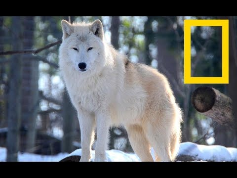 Wildlife Yellowstone  - Wolf Alpha Kingdom | Wolves (Nat Geo Wild)