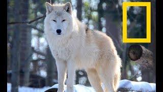 Wildlife Yellowstone  - Wolf Alpha Kingdom | Wolves (Nat Geo Wild)
