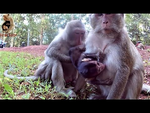 Nature life of baby monkey with mom
