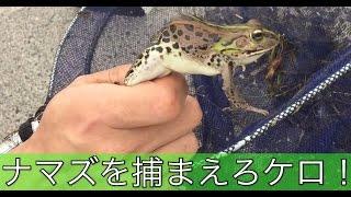 初夏のガサガサ。小ナマズをとって飼いたい。Fish catch in Japan Japanese Catfish thumbnail
