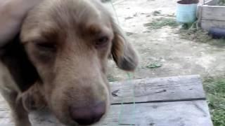 """Моя собака """"каштан"""" русский охотничий спаниель"""