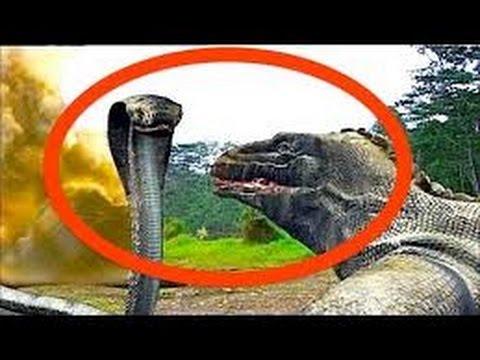 Komodo Dragon Attacks Komodo Dragon vs King Cobra Komodo Dragon Documentary HD 2016