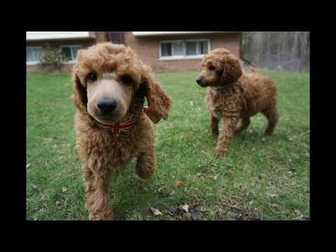Red standard poodle puppies at almost 7.5 weeks - 2 more of the boys