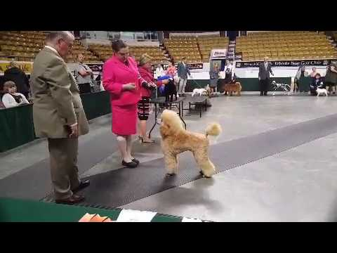 Arreau Standard Poodles- Naomi in the Group ring after getting her first point! #2