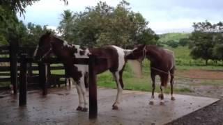 Cavalo mangalarga paulista cobrindo égua mangalarga paulista