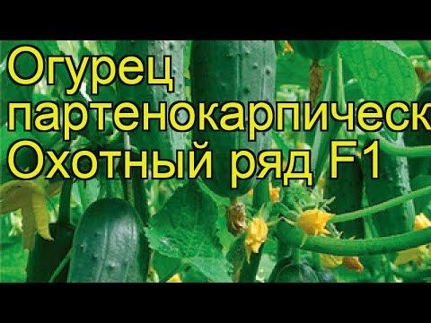 Огурец партенокарпический Охотный ряд. Краткий обзор, описание характеристик cucumis sativus