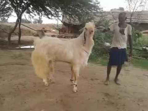 Jamunapari goat - YouT...