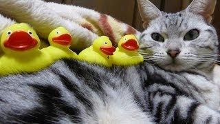 ボー然とする猫~寝込みを襲われた -First experience ~cat sleeps with little friends thumbnail