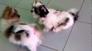 Pomeranian (cha-nom) Vs Shih-tzu ( Sugus )