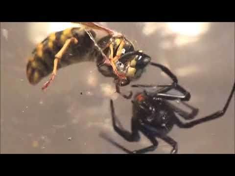 BLACK WIDOW VS QUEEN WASP (Like and Sub)