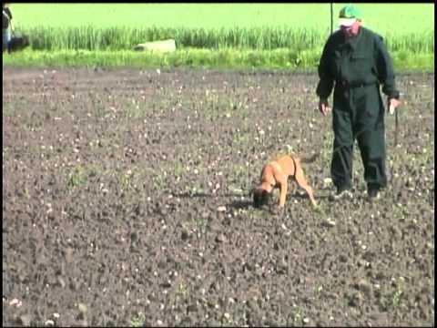 Belgian Shepherd Malinois - Dog breed