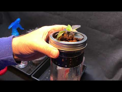 Simple Hydroponics in a wide mouth mason jar