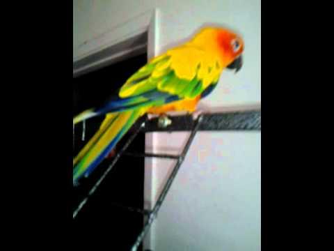 Sun Conure Bird For Sale!!!!