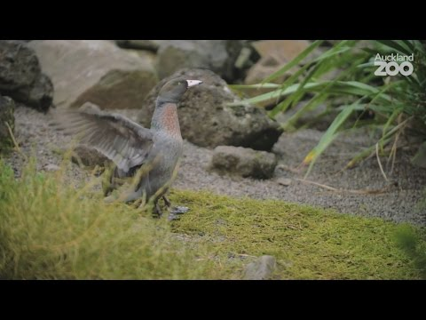Zoo Tales - Whistling whio