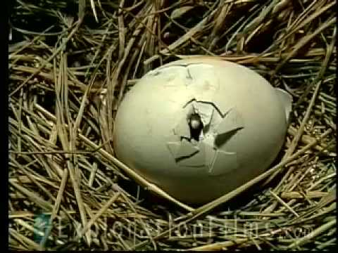 Chicken Egg Defies Evolution