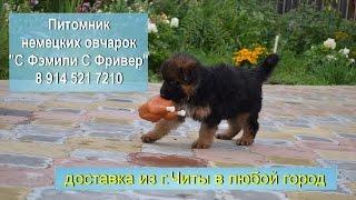 "Щенки немецкой овчарки питомник ""С Фэмили С Фривер"""