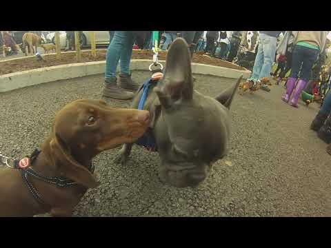Mass Dachshund sausage dog walk Heaton Park Manchester