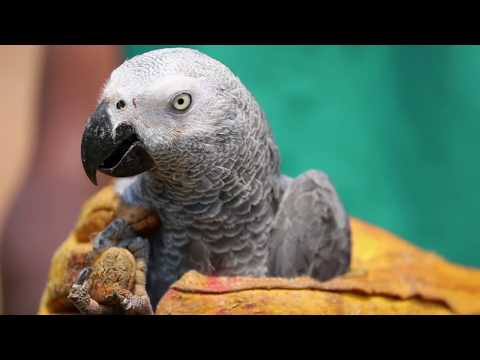 African Grey Parrots in Peril | WCS