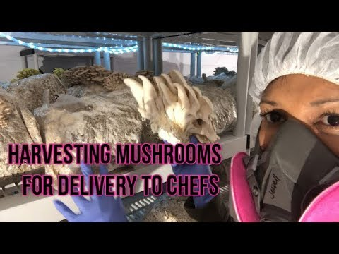 How I Harvest Mushrooms & Package for delivery to Chefs